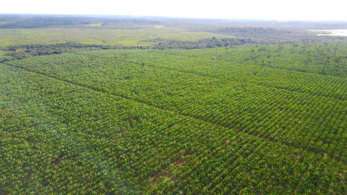 Baie d'açai Un super fruit antioxydant, Plantation partenaire de Abaçai