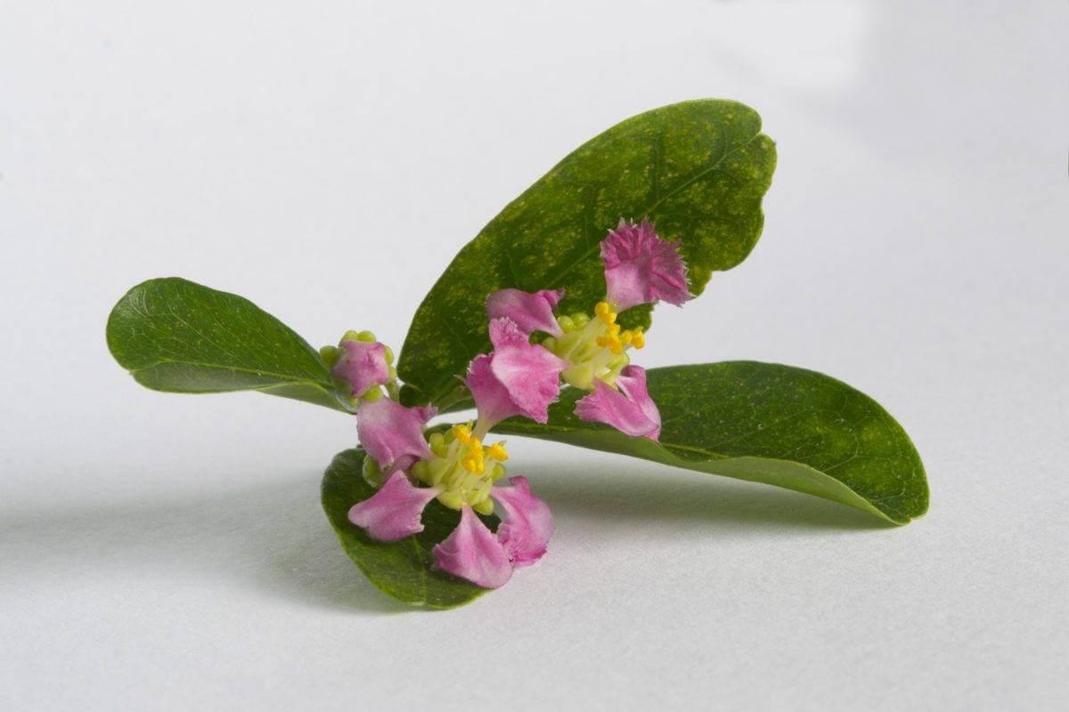Fleur d'acérola, acheter le meilleur acérola en poudre