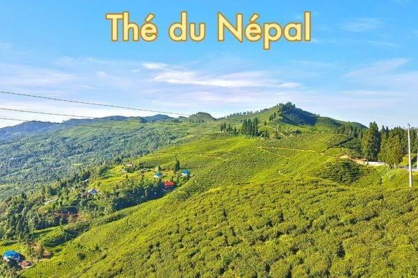 producteur-the-nepal