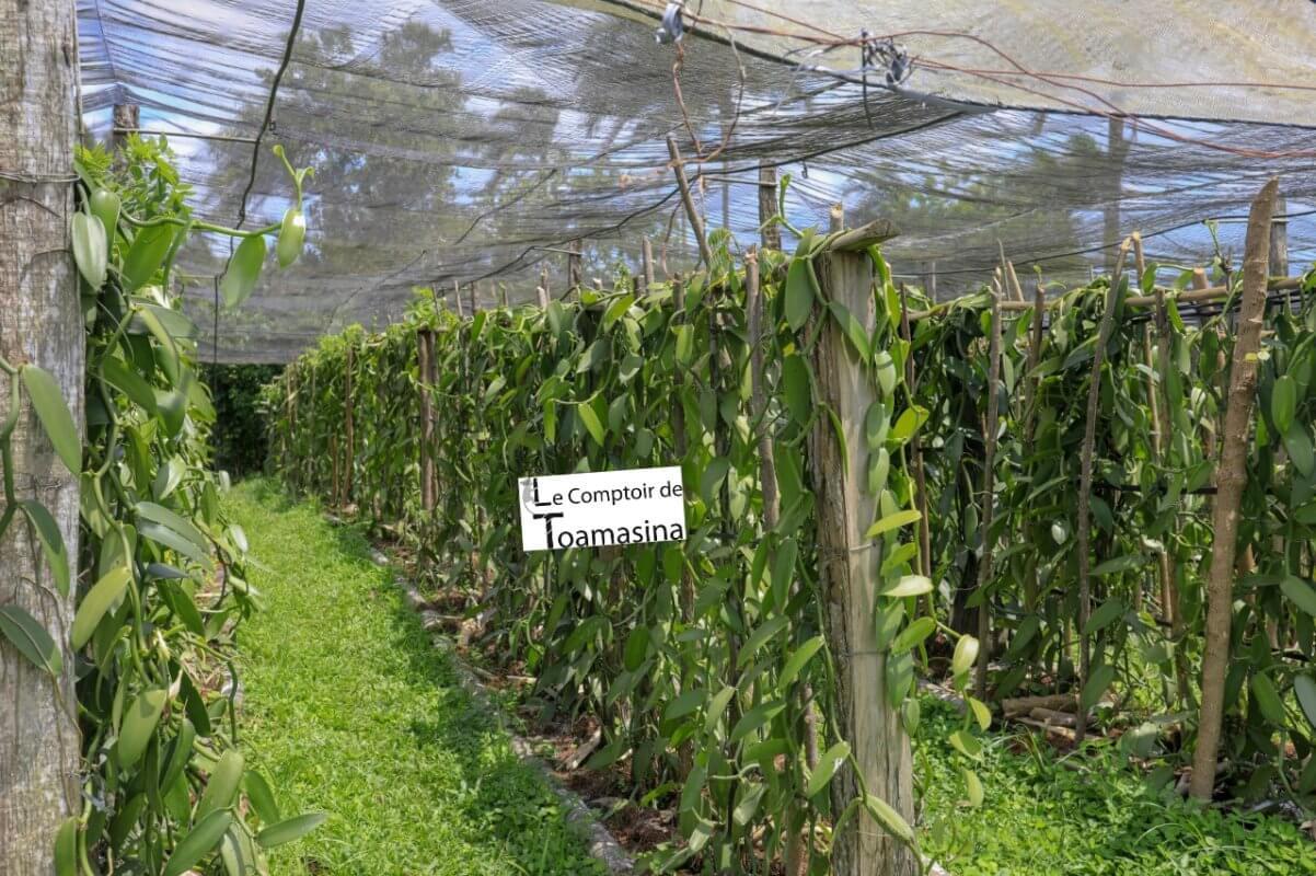 Plantation de gousses de vanille partenaire