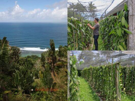 Plantation de vanille - Spécialiste de import export de vanille