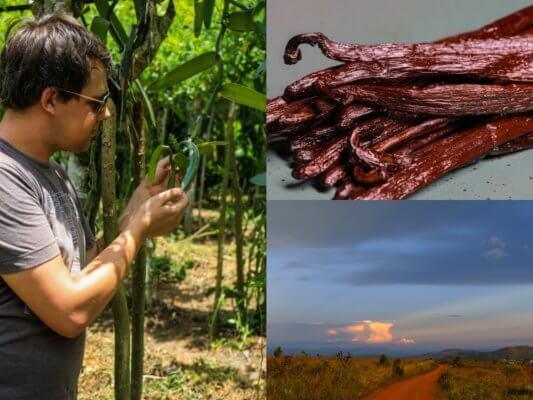 Quelle est la meilleure saison pour planter de la vanille de Madagascar